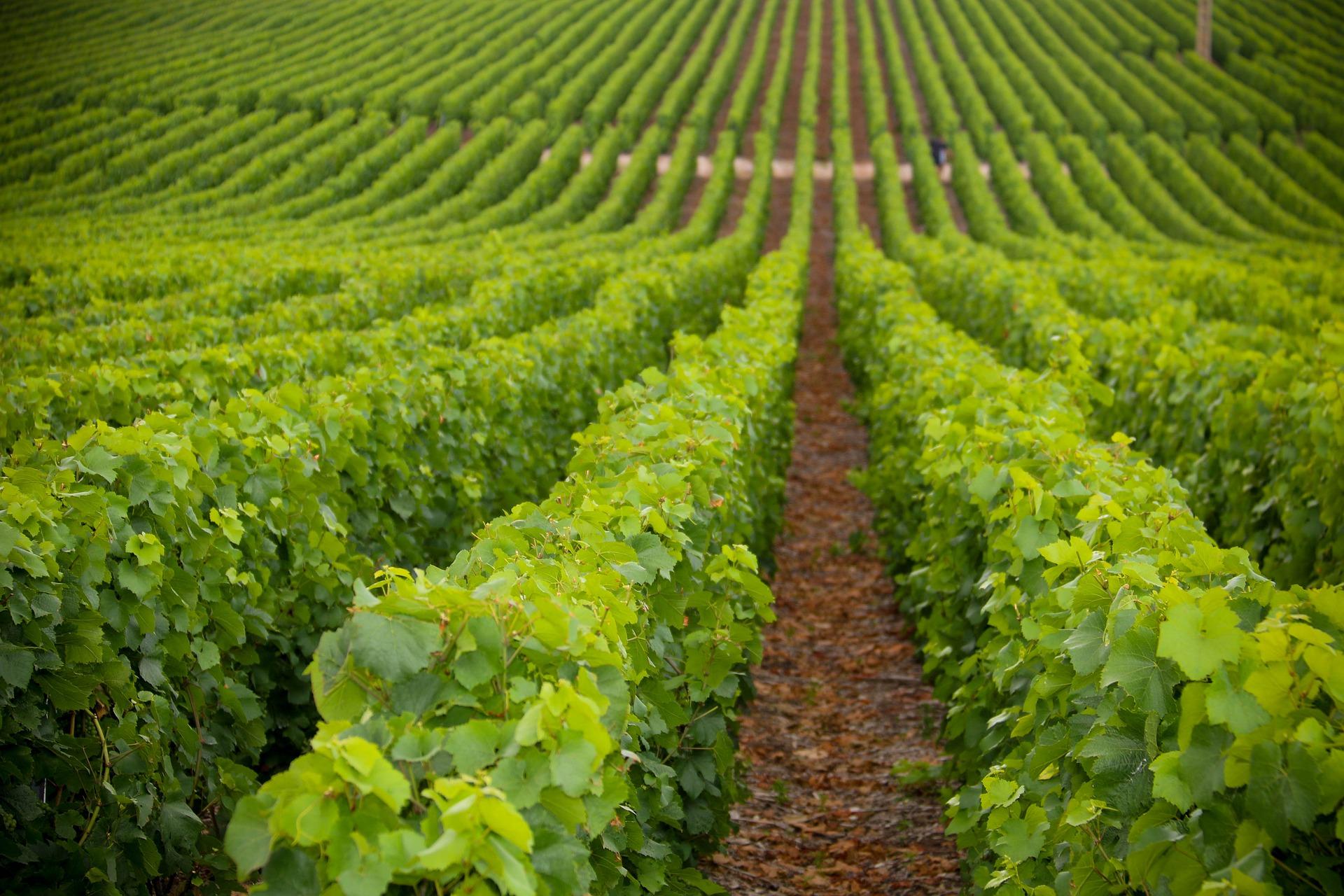 grape-plantation-5514588_1920